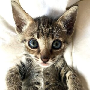 Are Bengal cats illegal in New Jersey