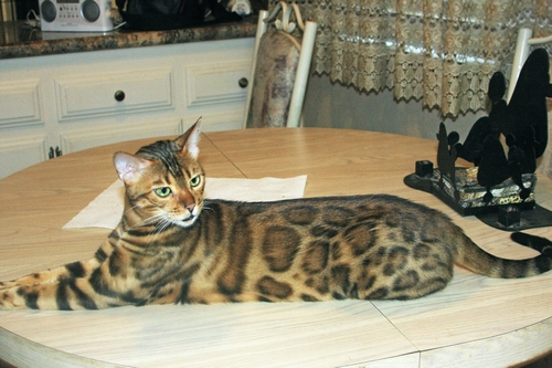 bengel cats for sale