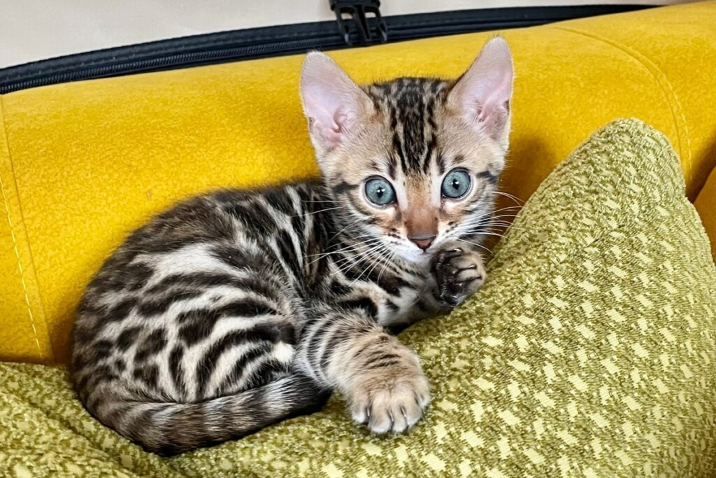bengal kittens for sale south carolina