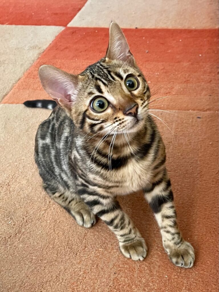 bengal cats for sale near me
